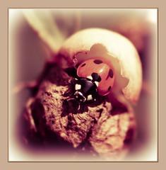 i'm coming out!! (maar73) Tags: macro nature natuur ladybird juli ringexcellence maar73