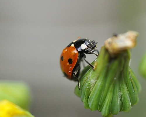 Ladybug 2 (Golden Diamond of the week september 2011)