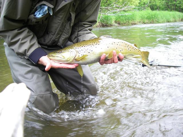 big brown trout