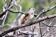 crested bellbird (female) new bird (daKing pics) Tags: bowra oreoicagutturalis crestedbellbird