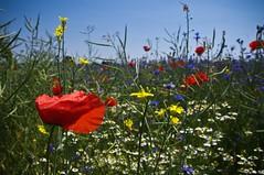 *..:**.:* (c-or^^) Tags: plant nature field flora feld rape 1855 raps kamille cornflower kornblume papaver camomile mohnblume wildpflanzen pentaxkr wildgartenmischungvomrapsfeldrandbild
