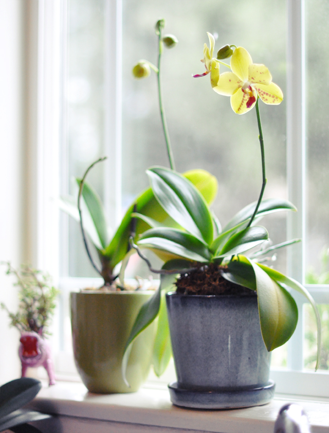 regrowing orchids on my kitchen window sill