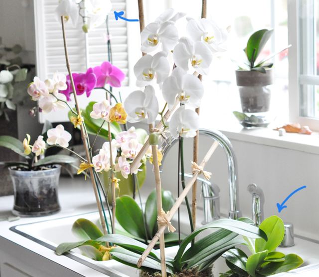 orchids in the sink watered