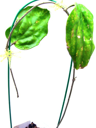 Hoya pentaphlebia