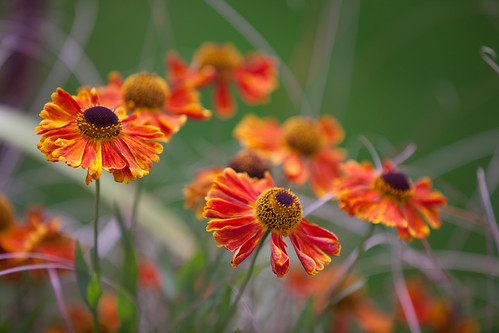 530/1000 - Heleniums by Mark Carline