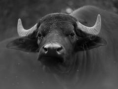 bivaly (.e.e.e.) Tags: blackandwhite bw animals hungary mf manualfocus canoneos5d omeosadapter soligor70150ommount