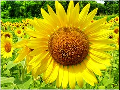 Sunflowers (Suzanham) Tags: flowers yellow petals sunflowers absolutelyperrrfect