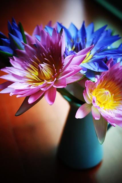 1000725 本週值班花兒 : 香水睡蓮 (購於costco) 很神奇的 白天開放 晚上縮回花苞  超可愛的啊~