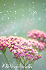 86. Rain (Chrisseee) Tags: pink flower rain canon bokeh pastel greenhouse waterdrops lightgreen atsh everythingpink sigma70300dgapomacro kristiinahillerstrm chrisseee atsh86 siankrsmachilleamillefolium