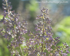 Dreams in bokeh (The Shutterbug Eye™) Tags: art nature garden photo petals illinois flora purple artistic bokeh fineart picture lavender lilac photograph buds dreamy wheaton cantigny naturephotography photogrpahy dianemiller theshutterbugeye dkmiller napervillephotography