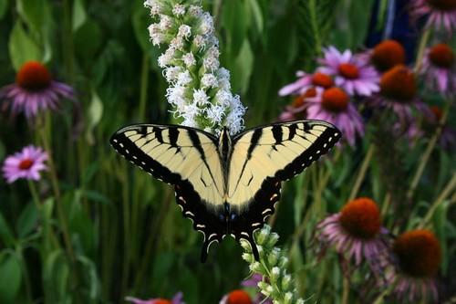 TigerSwallowtailLiatrisJuly2011