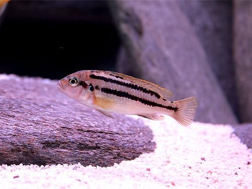Melanochromis vermivorus Makokola Reef