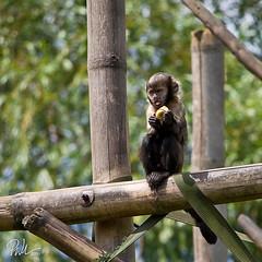 Buffy Headed Capuchin (Paul-M-W) Tags: wood trees white black green apple tongue zoo monkey log chimp feeding ancestor ape buffy headed simian capuchin chesterzoo buffyheadedcapuchin