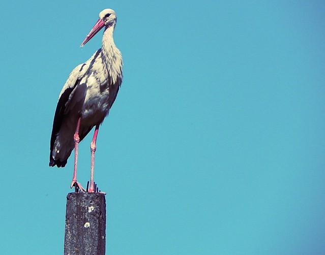 Fashionable stork