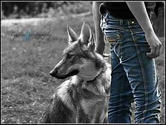 Grey's wolf (cynbb) Tags: blue dog chien white black puppy wolf noir olympus bleu jeans loup cynthia blanc e510