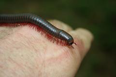 North American MIllipede (WabbyTwaxx) Tags: north american millipede americanus narceus inaturalist