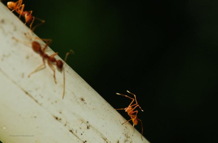 Ant - Spider