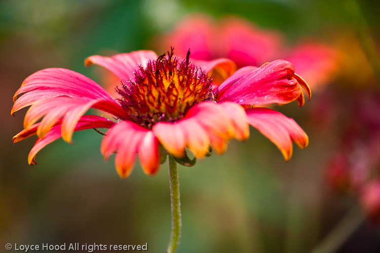 Blanket Flower LDH4 61239