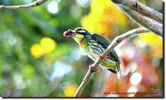 beautiful nature... (tank msia) Tags: coppersmith barbet