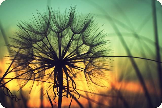 dandelion Pendergrass
