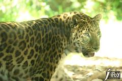Before (cebuphotographer) Tags: utah leopard pcc hoglezoo nikkor70200mmf28 nikond3