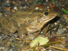 West Iberian Painted Frog 1 of 3 (Bull of the Bog) Tags: west spain painted amphibian asturias frog iberian