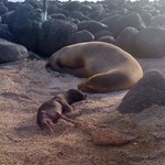 "Newborn Sea Lion <a style=""margin-left:10px; font-size:0.8em;"" href=""http://www.flickr.com/photos/14315427@N00/6007197144/"" target=""_blank"">@flickr</a>"