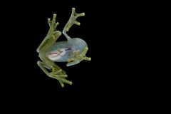 Glass frog (ggallice) Tags: park parque glass rain america forest nikon rainforest wildlife central frog national jungle tropical panama rana gamboa nacional herp ranita glassfrog soberania hyalinobatrachium centrolenidae d7000 colymbiphyllum taxonomy:binomial=hyalinobatrachiumcolymbiphyllum