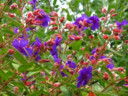 Whoa, princess plant. Tibouchina urvilleana #workhorse