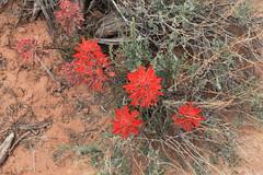 167 Plants along trail (hobbitcamera) Tags: desertflowers desert canyonlands canyonlandutah springflowers nationalpark springtime utah hiking
