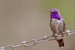 Costa's Hummingbird 0711-2 (luluhachidori) Tags: california pink orange bird canon eos hummingbird purple allens southern 7d annas costas  hibrid  allofnatureswildlifelevel1 allofnatureswildlifelevel2