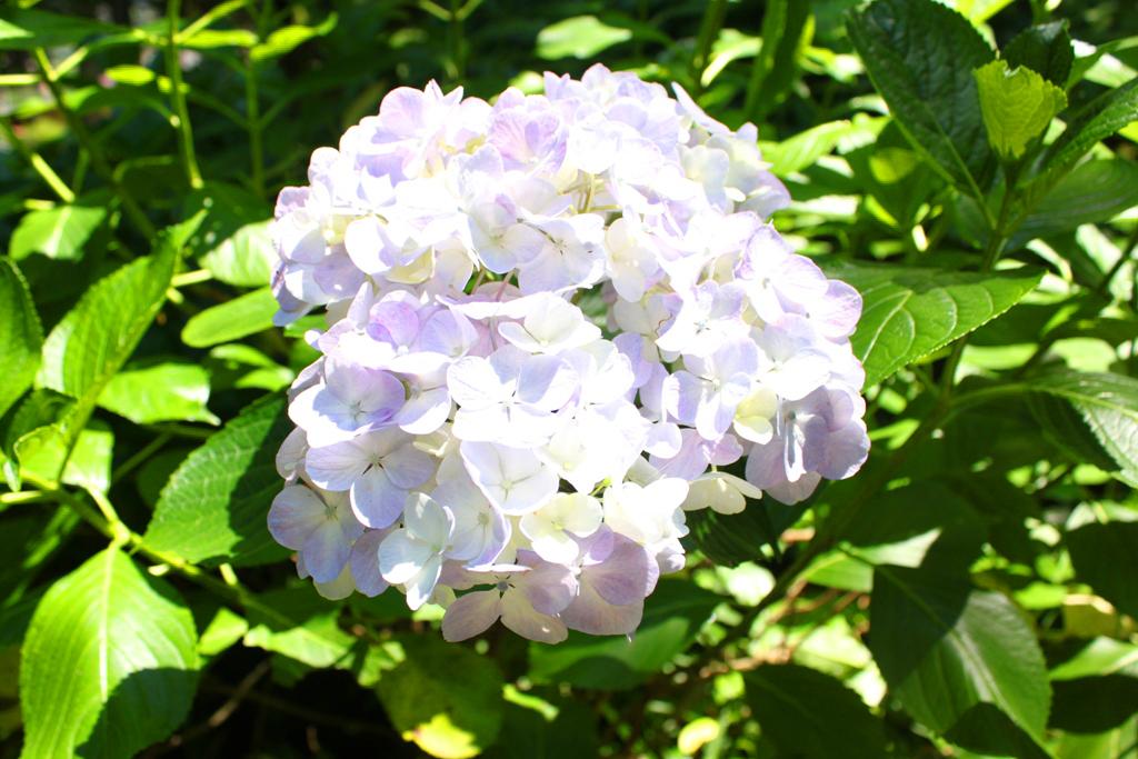 Kita Kamakura Hydrangea spot (20)