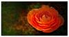 Ranunculus (Mirenchu A Fernandez) Tags: autumn orange flower macro artistic flor ranunculus textures layers anaranjado