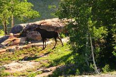 Moose at Lake Blanche