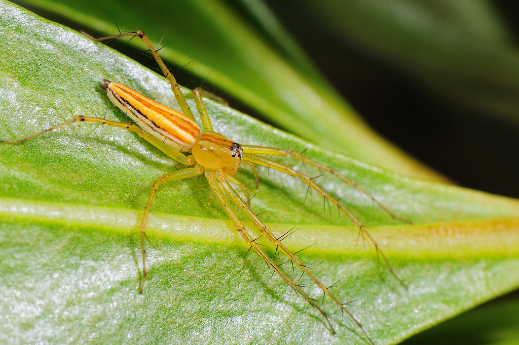 細紋貓蛛 Oxyopes macilentus