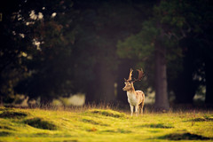 prince of the forest (andrew evans.) Tags: morning autumn trees england nature grass forest sunrise countryside kent woods nikon bokeh wildlife deer f28 d3 400mm
