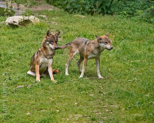 Visite des loups au parc Alpha 6035588851_d74d3bfc20