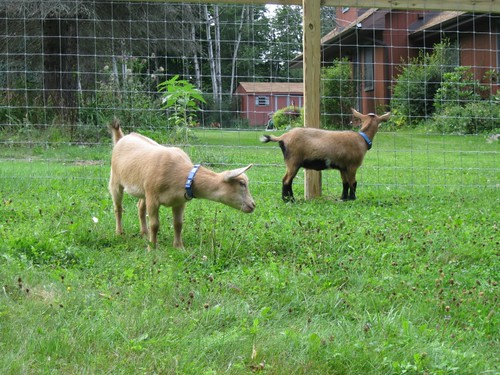 Anza and Josie in their new pen by elizabeth's*whimsies