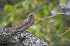 Eared Dove (Adam R. Paul) Tags: travel bird southamerica nature argentina animal buenosaires eareddove zenaidaauriculata torcaza