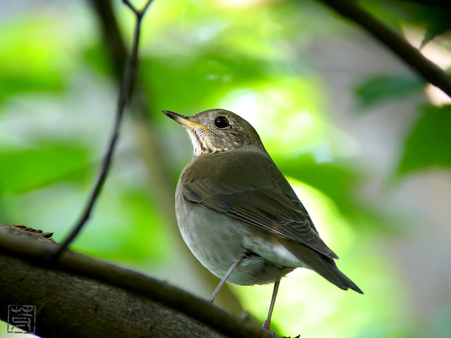 Swainson's Thrush, Oct 2011