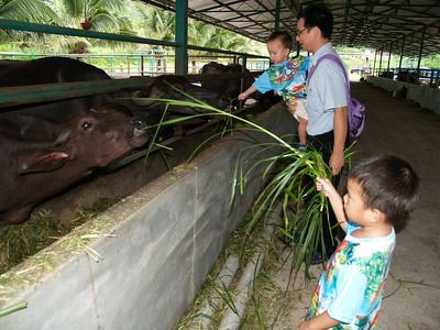 Boys feeding buffaloes