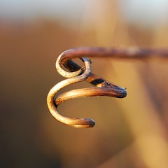 the clef (gilwalker) Tags: music macro closeup dof notes vine tendril clef earthtones