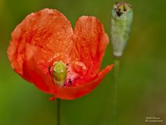 Poppy (.Markus Landsmann - markuslandsmann.zennfolio.com) Tags: red flower macro green rot dof pentax blossom bokeh sigma poppy grn blume makro blte farbig bunt mohn leverkusen mohnblume mohnblte sigmaapo sigmaapo70300 k20d pentaxk20d mlphoto mlphoto markuslandsmannzenfoliocom