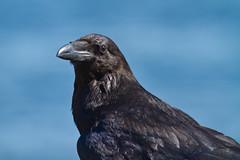 Raven (ReynirSk) Tags: bird nature canon iceland 7d raven hrafn corvuscorax bolungarvk coth fuglar supershot thewildlife canonef400mmf56l avianexcellence globalbirdtrekkers bolungarvkurhfn