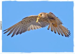 Peneireiro-das-torres ou francelho (Falco naumanni)
