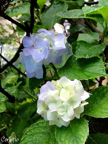 blog-110712-HORTENSIAS-2