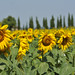 Sunflowers in the Tuscany Country