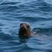 Lobo Marinho no Pacífico.!