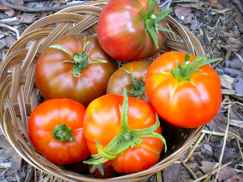 Tomato harvest (beefsteak and black krim)