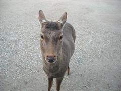 Nara (AMTER) Tags: life japan deer nara shika shinroku